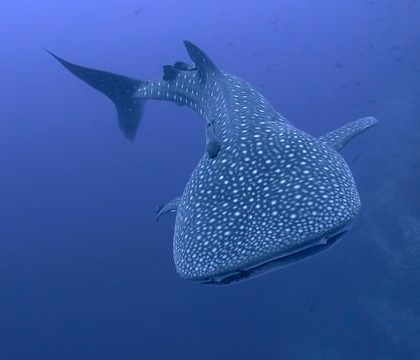 Whale Shark The Gentle Giant